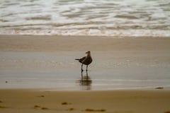 Seagull som söker efter föda i grunt vatten på en sandig strand arkivbilder