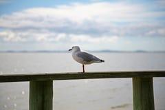 Seagull som ser över den Manukau hamnen i Auckland Arkivbild