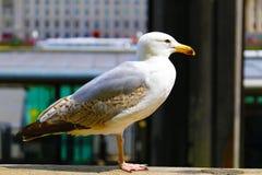 Seagull som sitter bredvid Themsen i London arkivbild