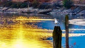 Seagull som sitter på en stolpe i Fraser Valley av British Columbia, Kanada royaltyfri fotografi