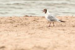 Seagull som skriker, medan gå på strandsanden royaltyfri fotografi