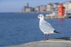 Seagull som stirrar havet Fotografering för Bildbyråer