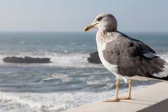 Seagull som stirrar på havet Arkivfoto