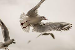 Seagull som svävar 5 Royaltyfria Bilder