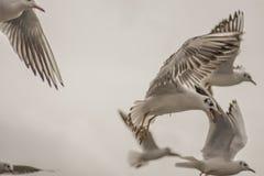 Seagull som svävar 6 Fotografering för Bildbyråer