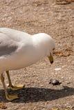 Seagull som synar ett mellanmål Royaltyfri Bild
