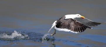 Seagull som tar mat från bevattna Arkivfoto