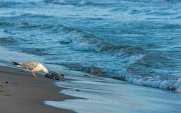 Seagull som äter den döda fisken Arkivbilder