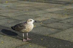 Seagull som tycker om liv i staden royaltyfri fotografi