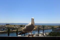 Seagull som ut hänger med turistsna arkivbilder