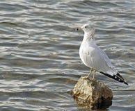 Seagull som ut ser på havet Royaltyfria Foton
