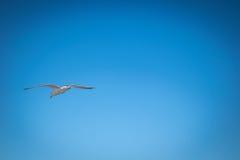 Seagull som utom fara flyger blå himmel Arkivbilder