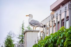 Seagull som väntar på kusten arkivbilder