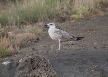 seagull som väntar på stranden Royaltyfria Foton