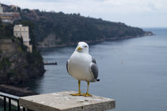 Seagull at sorrento. Profile of a standing seagull with sea and shore background Stock Photo