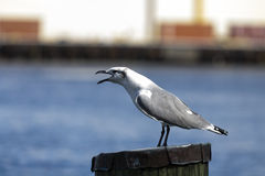 Seagull speaks Royalty Free Stock Images