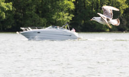 a seagull and speedboat. Scene of a seagull flying along with the white speedboat in the river Royalty Free Stock Images