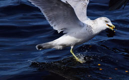 Seagull Splashes In Water Royalty Free Stock Image