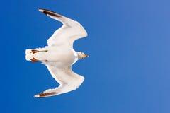 Seagull spod spodu Zdjęcia Stock