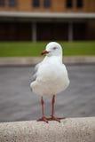 Seagull spojrzenia na boku Zdjęcia Stock