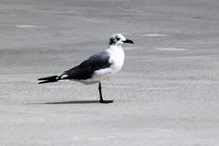Seagull Spotted Head Stock Photography