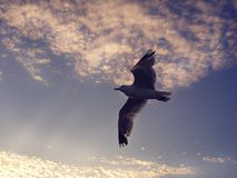A lone bird soars in the sky. Royalty Free Stock Photography