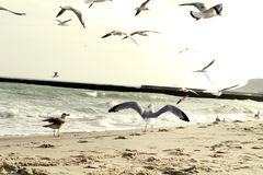 The seagull spread its wings. Seagull by the sea. royalty free stock images