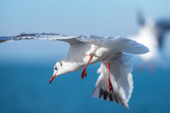 Seagull spread legs. Seagull flying with spread wings in blurry sky and preparing to land Stock Images