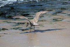 Spread wing of sea bird. Seagull spread wing to find food on the sea shore Stock Photos