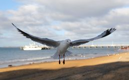 Seagull with spread wings Royalty Free Stock Photo