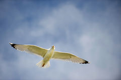 Seagull with spread wings in flight. On a blue sky Royalty Free Stock Images