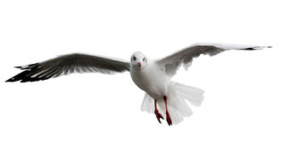 Seagull spread the wings Royalty Free Stock Photo