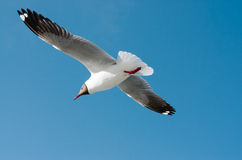 Seagull spread wings Stock Photo
