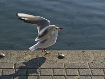 Seagull with spread wings Stock Photo