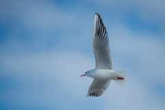 Seagull with spread wings. Seagulls larus ridibundus with spread wings flying in cloudy sky Stock Image