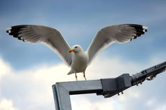 Seagull with spread wings. Sitting on a lamp Stock Photography