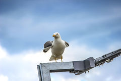 Seagull with spread wings. Sitting on a lamp Royalty Free Stock Photography