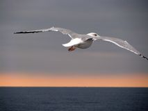 Seagull spreading wings Royalty Free Stock Photo