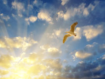 Seagull spreading wings in setting sun rays Stock Photo