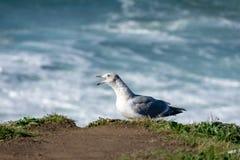 Seagull Squawking στοκ φωτογραφία με δικαίωμα ελεύθερης χρήσης