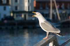 Seagull squawking by the Harbourside Royalty Free Stock Images