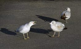 Seagull squawks at approaching seagull. Ring billed gull protests at another gull invading its space in a parking lot Royalty Free Stock Photography
