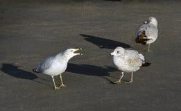 Seagull squawks seagull προσέγγισης στοκ φωτογραφία με δικαίωμα ελεύθερης χρήσης