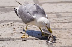 Seagull with the squid Stock Images