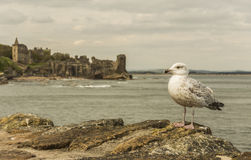 Seagull at St. Andrews Castle. Seagull on a pier, with the St. Andrews Castle in the background Stock Photo