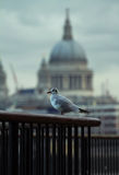 Seagull and ST Paul's Cathedral. London Stock Photo