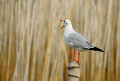 Seagull stand on bamboo Royalty Free Stock Photos