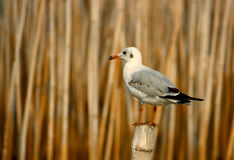 Seagull stand on bamboo Stock Photography