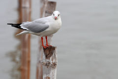 Seagull stand on the bamboo Royalty Free Stock Photos