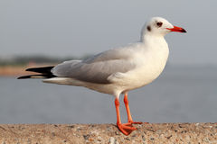 Seagull stand Royalty Free Stock Photos